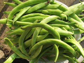 Runner beans by the bucket load