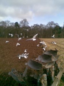 Ploughing and Seagulls